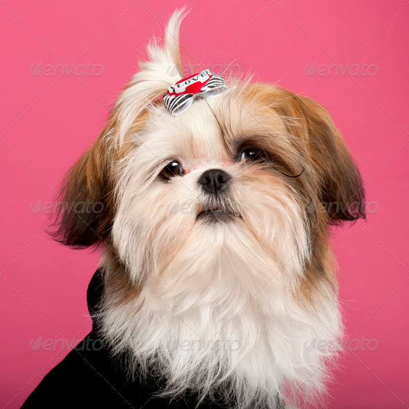 Close-up of Shih Tzu, 5 months old, in front of pink background - Stock Photo - Images