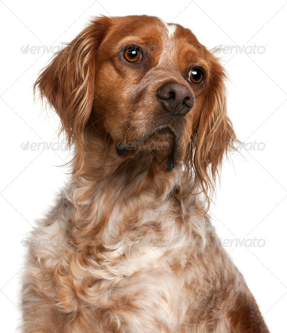 Close-up of Brittany dog, 3 years old, in front of white background - Stock Photo - Images