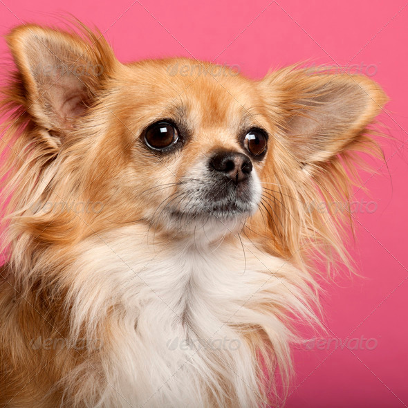 Close-up of Chihuahua in front of pink background - Stock Photo - Images