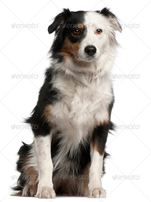 Australian Shepherd dog, 6 years old, sitting in front of white background - Stock Photo - Images
