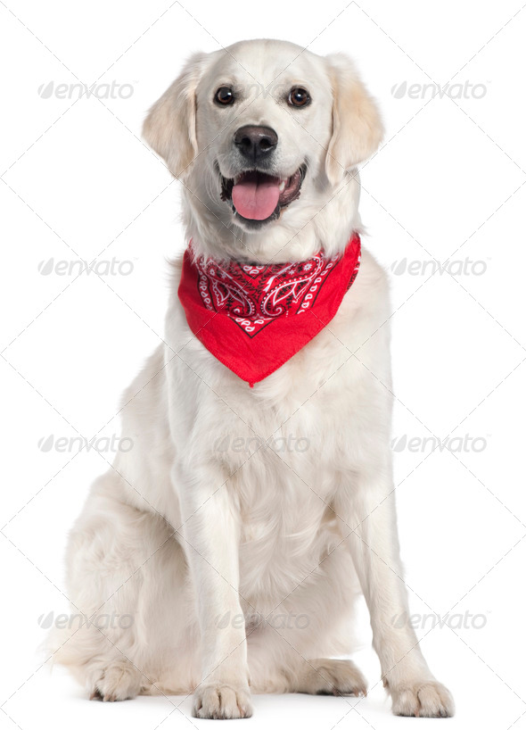 Golden Retriever wearing red handkerchief, 9 months old, sitting in front of white background - Stock Photo - Images