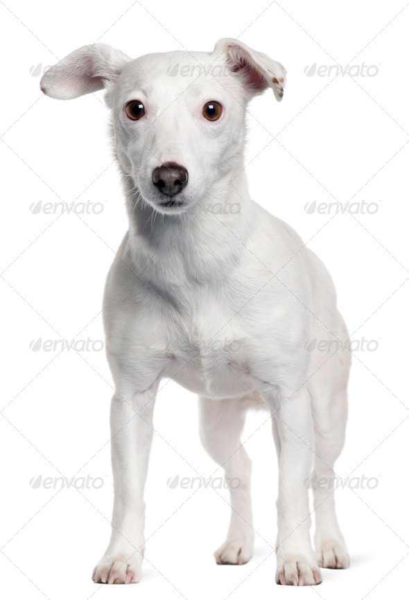 Jack Russell Terrier, 5 years old, standing in front of white background - Stock Photo - Images