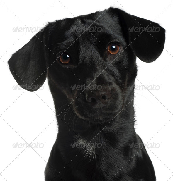 Close-up of Dachshund, 8 months old, in front of white background - Stock Photo - Images