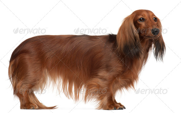 Dachshund, 3 years old, standing in front of white background - Stock Photo - Images