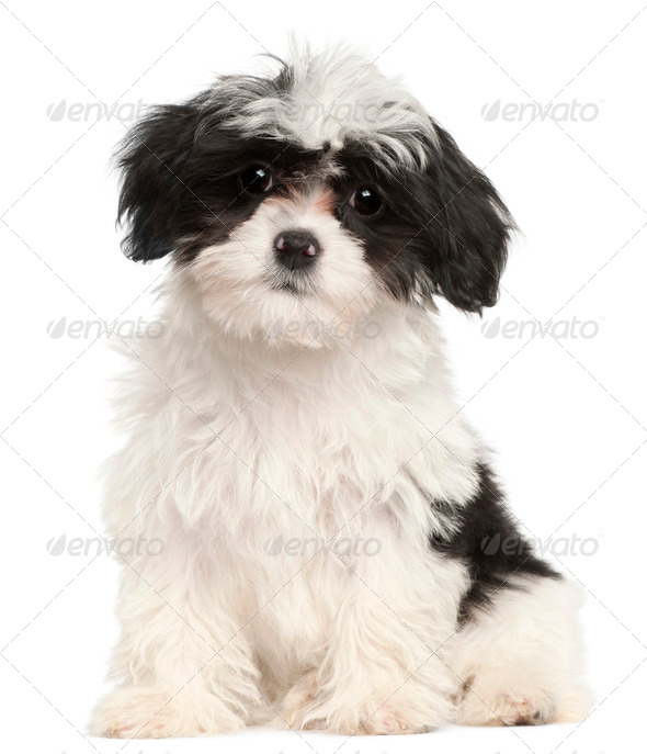 Havanese puppy, 12 weeks old, sitting in front of white background - Stock Photo - Images