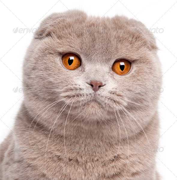 Close-up of Scottish Fold cat, 9 and a half months old, in front of white background - Stock Photo - Images