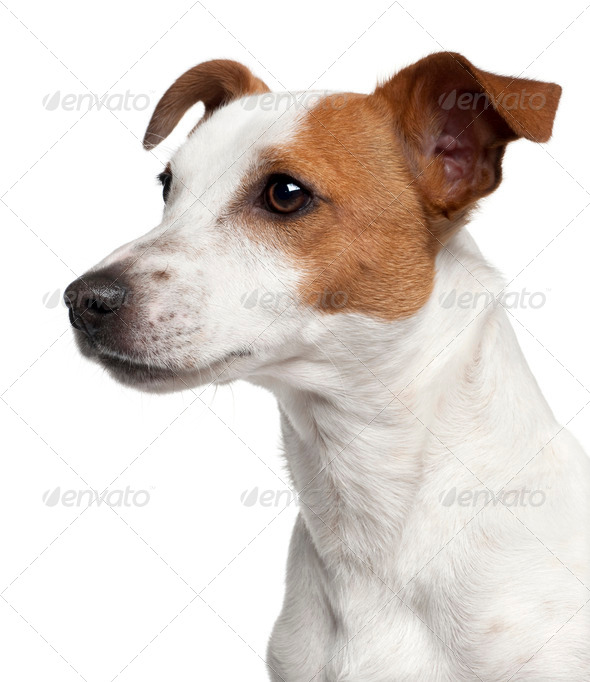 Close-up of Jack Russell Terrier, 10 months old, in front of white background - Stock Photo - Images