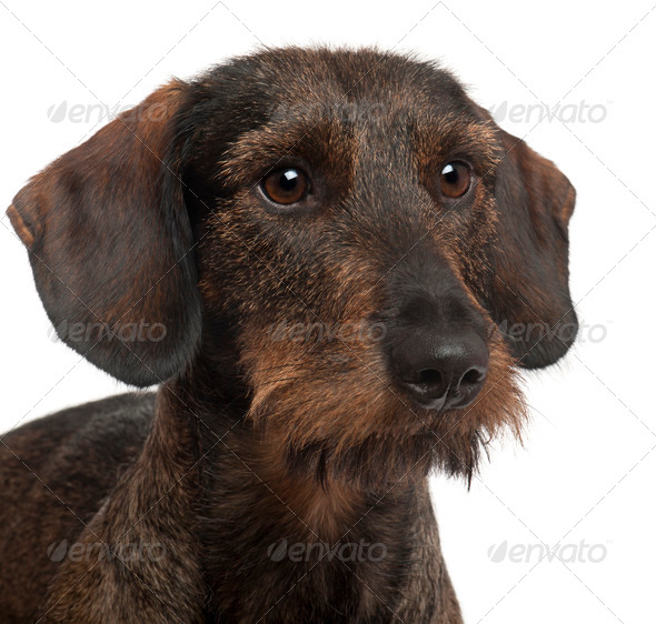 Close-up of Dachshund, 2 years old, in front of white background - Stock Photo - Images