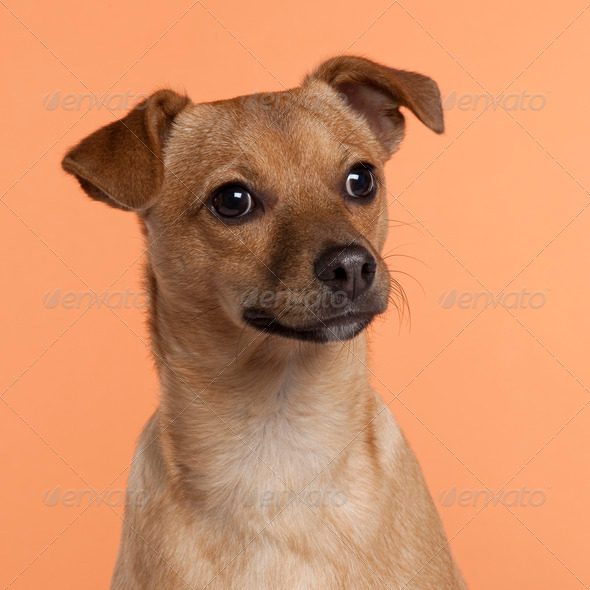 Mixed-breed (7 months old) - Stock Photo - Images