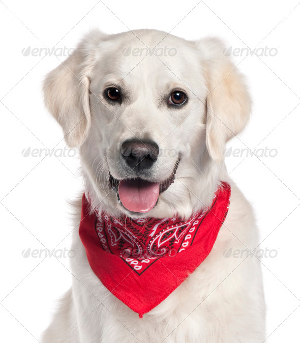 Close-up of Golden Retriever wearing red handkerchief, 9 months old, in front of white background - Stock Photo - Images
