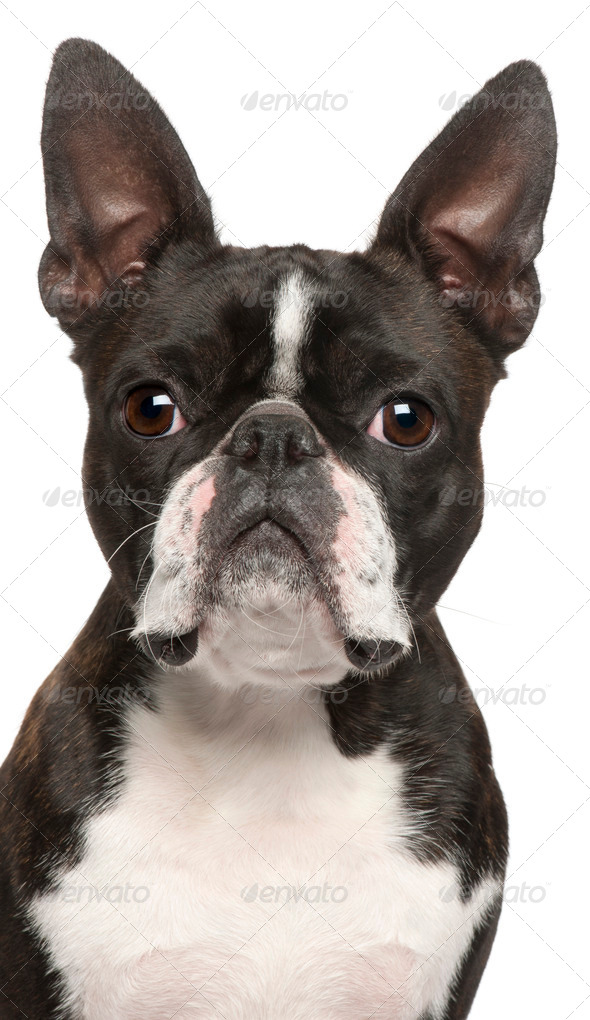 Close-up of Boston Terrier, 1 year old, in front of white background - Stock Photo - Images