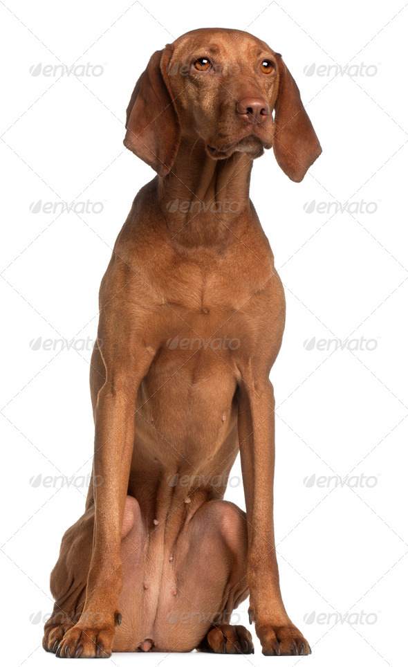 Vizsla, 2 years old, sitting in front of white background - Stock Photo - Images