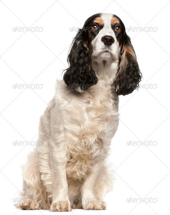English Cocker Spaniel, 6 years old, sitting in front of white background - Stock Photo - Images
