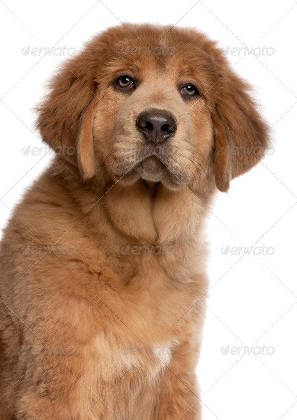 Close-up of Tibetan Mastiff puppy, 3 months old, in front of white background - Stock Photo - Images