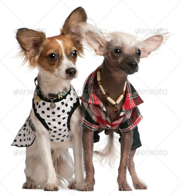 Dressed up Chinese Crested Dogs, 2 years old and 8 months old, in front of white background - Stock Photo - Images