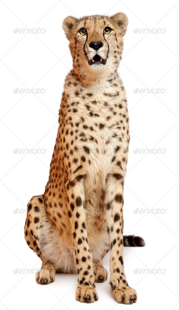 Cheetah, Acinonyx jubatus, 18 months old, sitting in front of white background - Stock Photo - Images