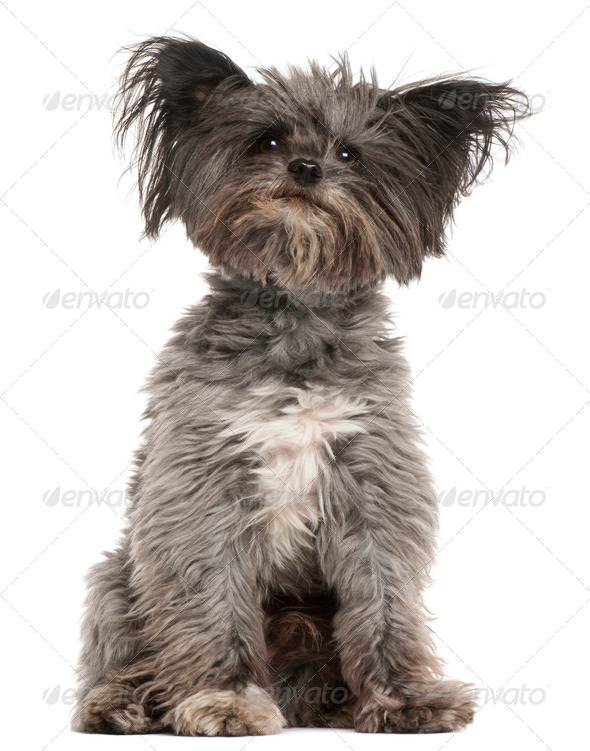 Mixed-breed dog, 7 years old, sitting in front of white background - Stock Photo - Images