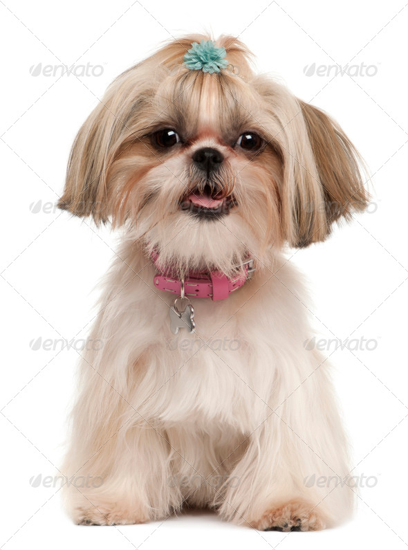 Shih Tzu, 1 year old, sitting in front of white background - Stock Photo - Images