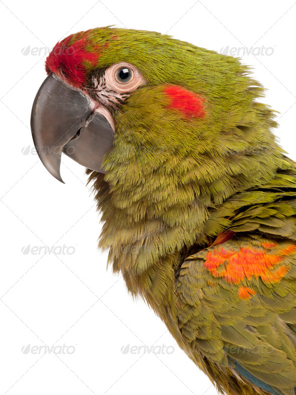 Close-up of Red-fronted Macaw, Ara rubrogenys, 6 months old, in front of white background - Stock Photo - Images