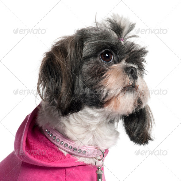 Close-up of Shih Tzu in pink, 2 years old, in front of white background - Stock Photo - Images
