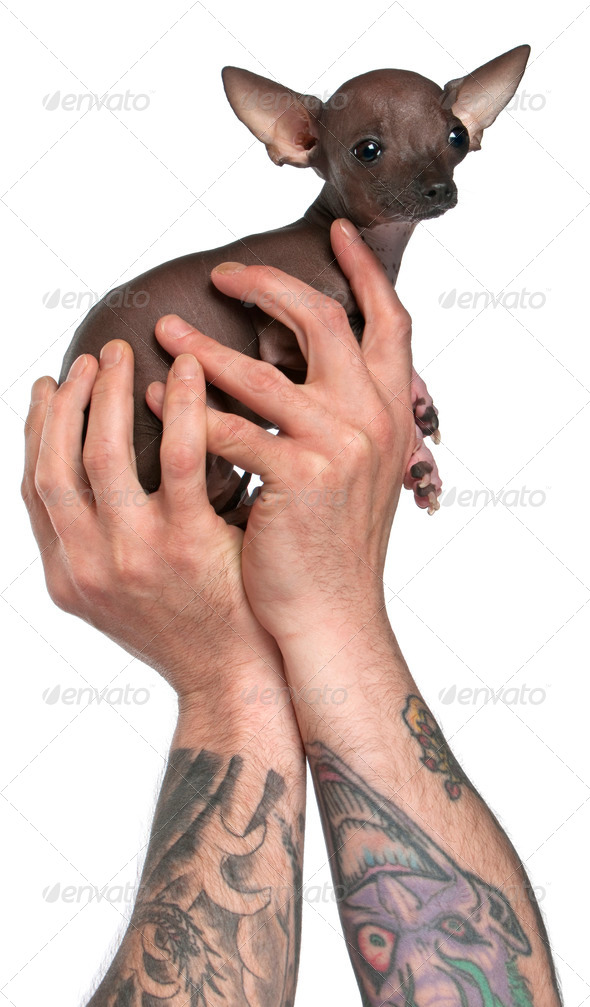 Man with tattoos on arms holding Chihuahua puppy, 6 months old, in front of white background - Stock Photo - Images
