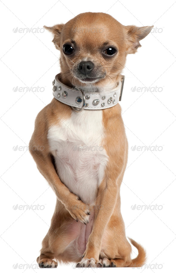 Chihuahua wearing collar, 2 and a half years old, sitting in front of white background - Stock Photo - Images