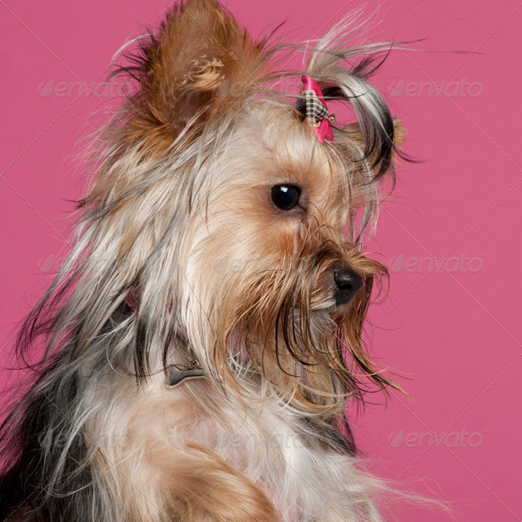Yorkshire Terrier (9 months old) - Stock Photo - Images