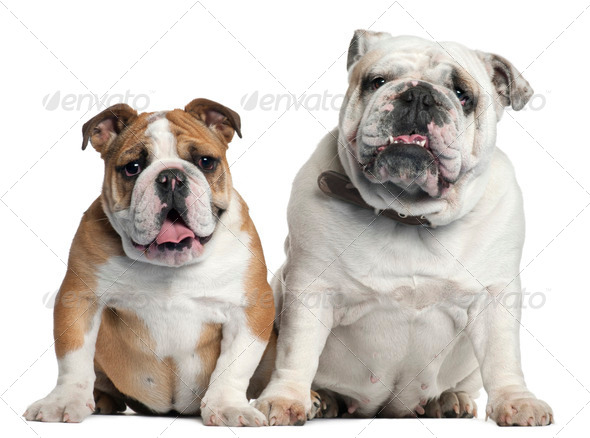 Two English Bulldogs sitting in front of white background - Stock Photo - Images