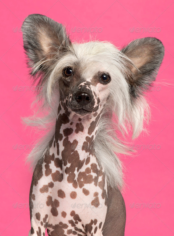 Chinese Crested Dog - Stock Photo - Images