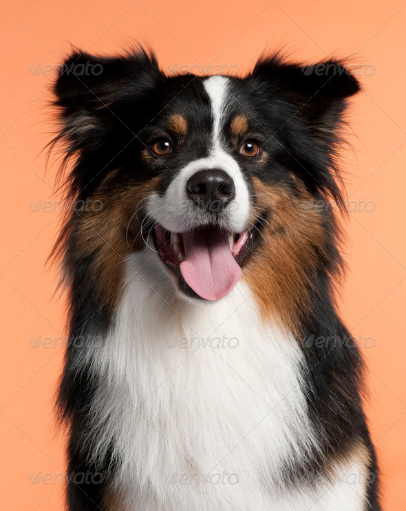 Australian Shepherd (2 years old) - Stock Photo - Images