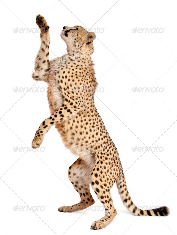 Cheetah, Acinonyx jubatus, 18 months old, standing up and reaching in front of white background - Stock Photo - Images