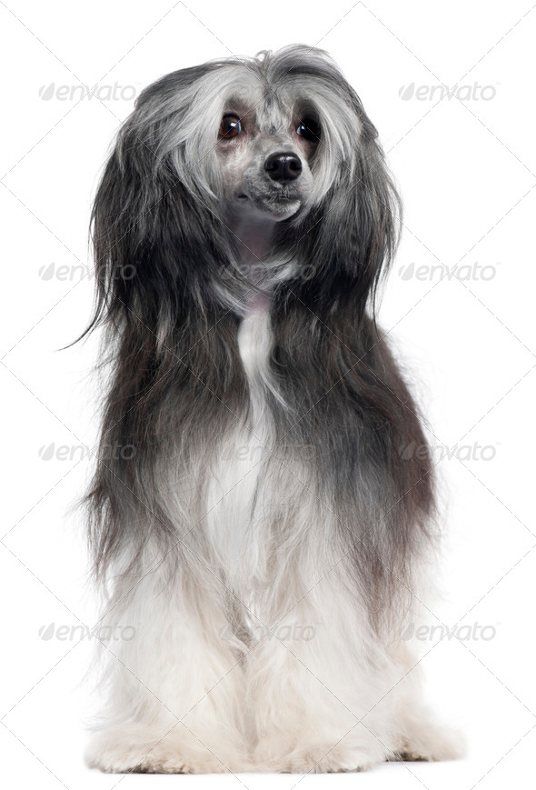 Chinese Crested Dog, 15 months old, standing in front of white background - Stock Photo - Images