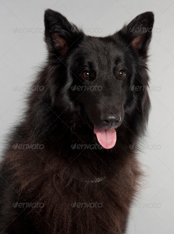 Belgian Shepherd Dog (Groenendael) (3 years old) - Stock Photo - Images