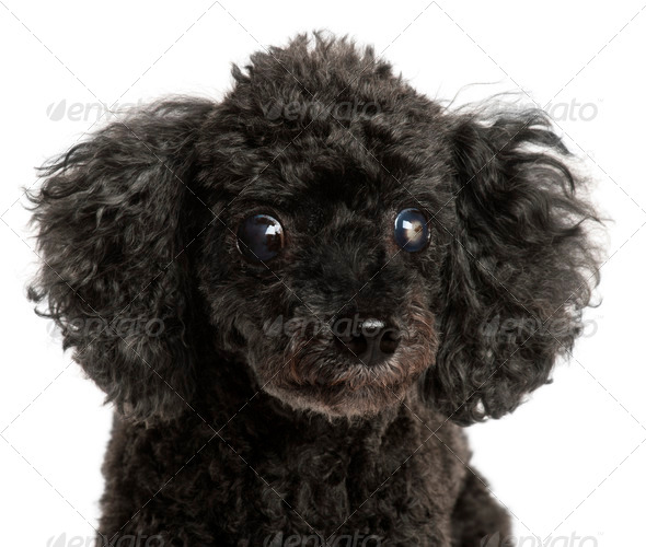 Close-up of half blind Poodle, 13 years old, in front of white background - Stock Photo - Images