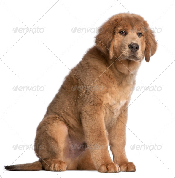 Tibetan Mastiff puppy, 3 months old, sitting in front of white background - Stock Photo - Images