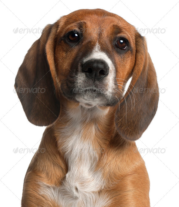 Close-up of Mixed-breed puppy, 12 weeks old, in front of white background - Stock Photo - Images