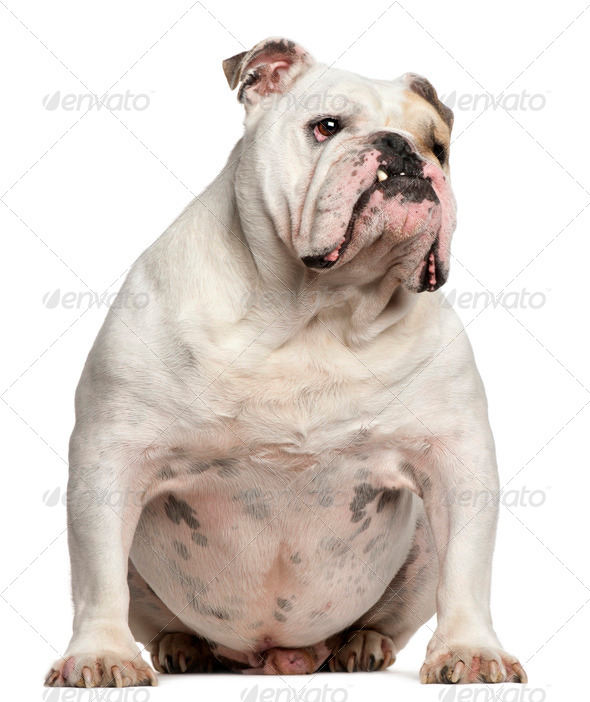 English Bulldog, 6 years old, sitting in front of white background - Stock Photo - Images