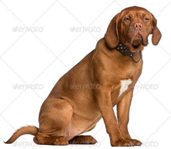 Dogue de Bordeaux puppy, 6 months old, sitting in front of white background - Stock Photo - Images