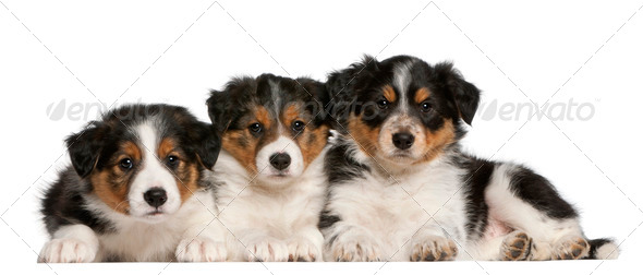 Border Collie puppies, 6 weeks old, in front of white background - Stock Photo - Images