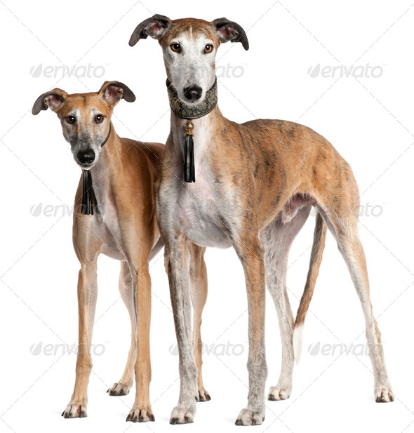 Galgo Espa?±ols, 6 years old and 3 and a half years old, standing in front of white background - Stock Photo - Images