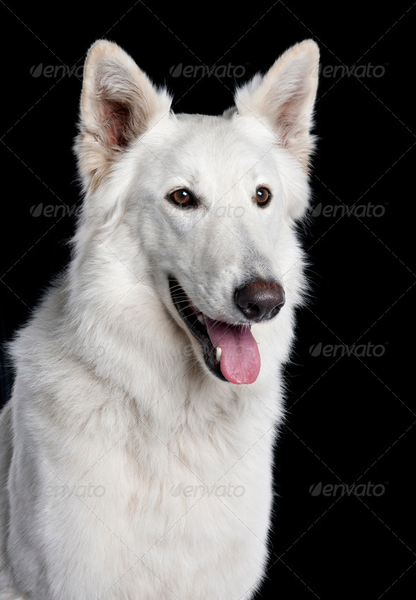 Berger Blanc Suisse (2 years old) - Stock Photo - Images