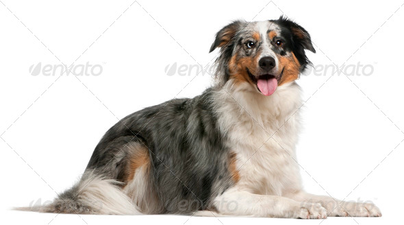 Australian Shepherd dog, 2 years old, lying in front of white background - Stock Photo - Images