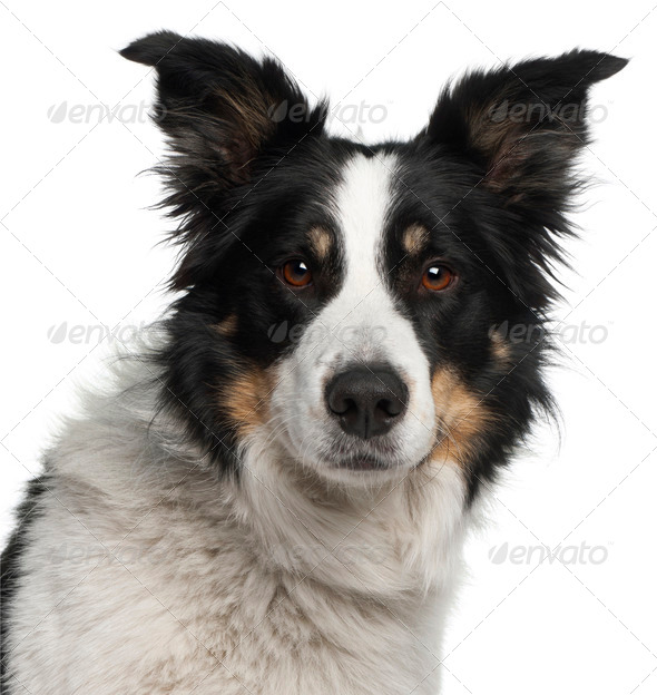 Close-up of Border Collie, 5 and a half years old, in front of white background - Stock Photo - Images