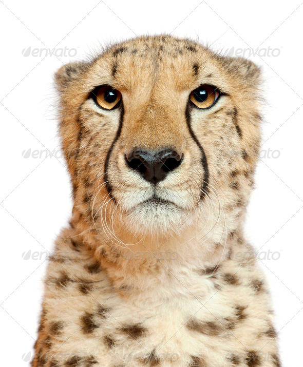 Close-up of Cheetah, Acinonyx jubatus, 18 months old, in front of white background - Stock Photo - Images