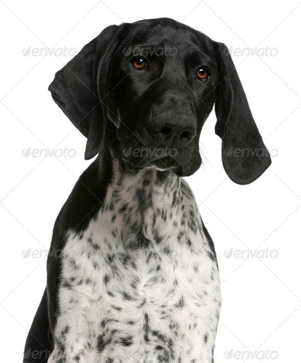 Close-up of German Shorthaired Pointer puppy, 4 months old, in front of white background - Stock Photo - Images