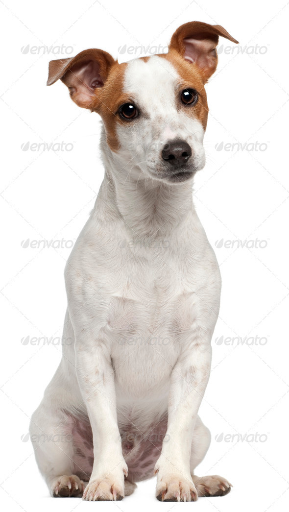 Jack Russell Terrier, 10 months old, sitting in front of white background - Stock Photo - Images