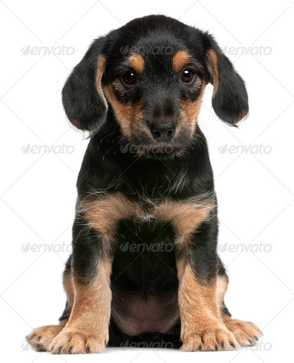 Mixed breed puppy sitting in front of white background - Stock Photo - Images