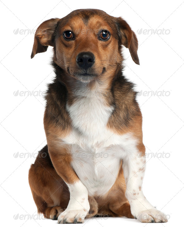 Jack Russell Terrier, 2 years old, sitting in front of white background - Stock Photo - Images