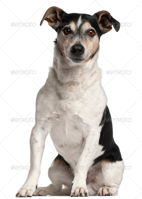 Jack Russell Terrier, 12 years old, sitting in front of white background - Stock Photo - Images