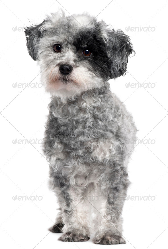 Mixed-breed dog, 5 years old, standing in front of white background - Stock Photo - Images
